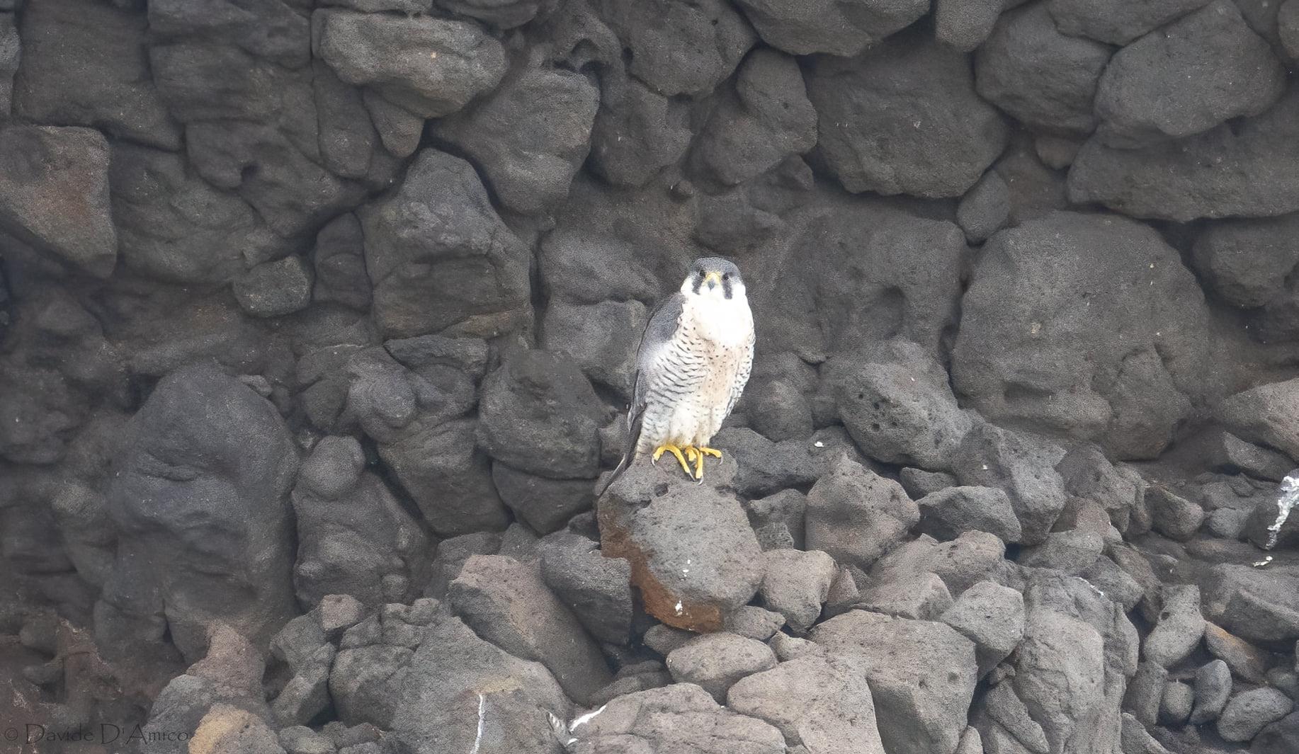 Falco pellegrino ssp. calidus